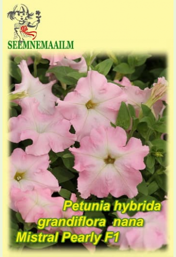 """Petunia """"Mistral Pearly"""" F1"""