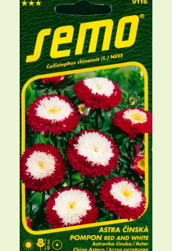 """Aster pompon """"Red and white"""""""