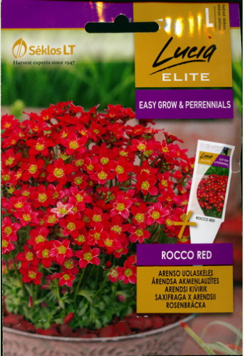 """Mossy saxifrage """"Rocco Red"""""""
