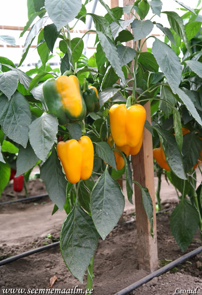 Paprika Golden Imperator F1 | Sweet pepper