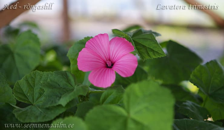 Aed rongaslill Silver Cup Lavatera trimestris