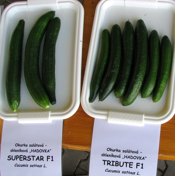 Cucumber Superstar F1