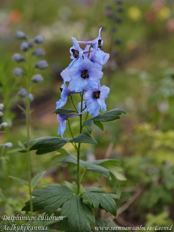 Delphinium cultorum Giant Medium Blue Aedkukekannus