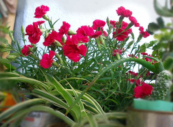 Dianthus deltoides Ruby
