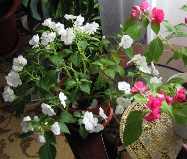 Impatiens walleriana White