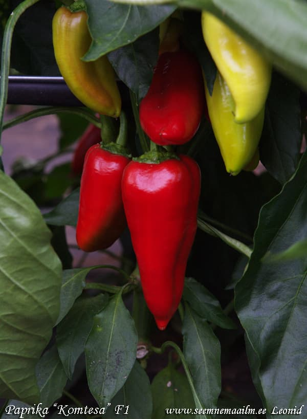 Paprika Komtesa F1 Sweet pepper