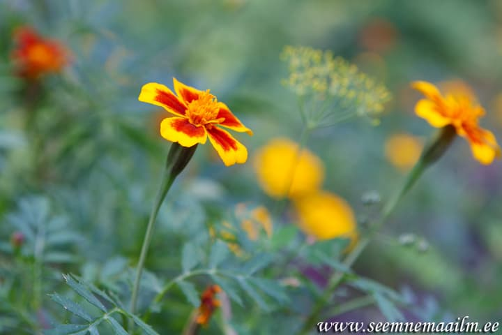 Peiulill Naughty Marietta Tagetes patula single