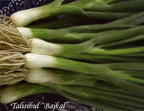 Allium fistulosum Bunching onion Bajcal Talisibul