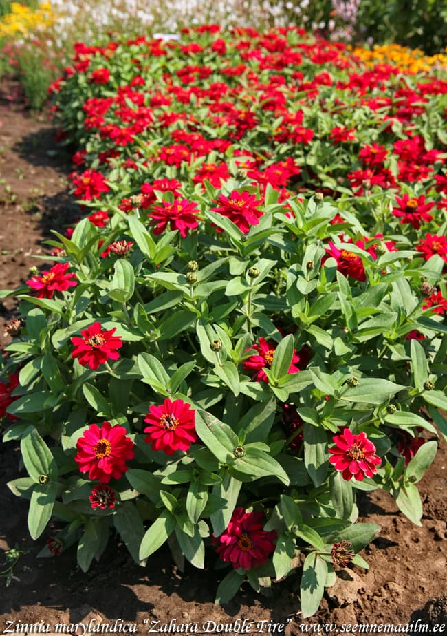 Zinnia marylandica Zahara Double Fire