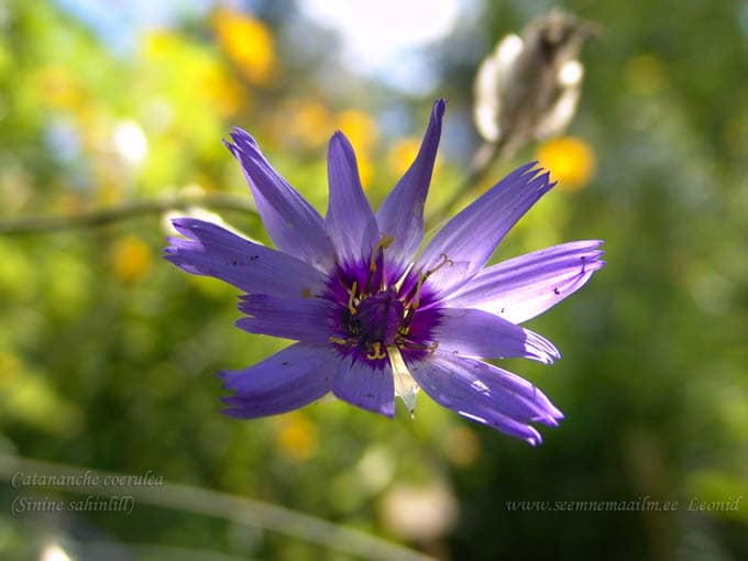 catananche_coerulea