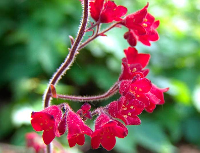 Heuchera_sanguinea Red