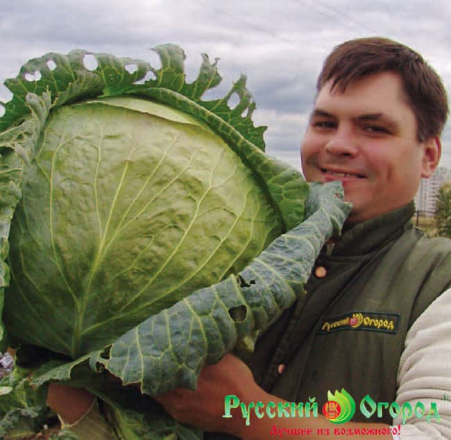 Cabbage Russian Size XXL